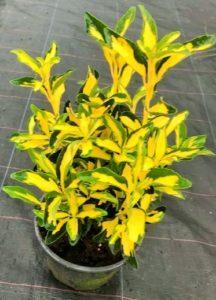 Euonymous japonica Aureopictus